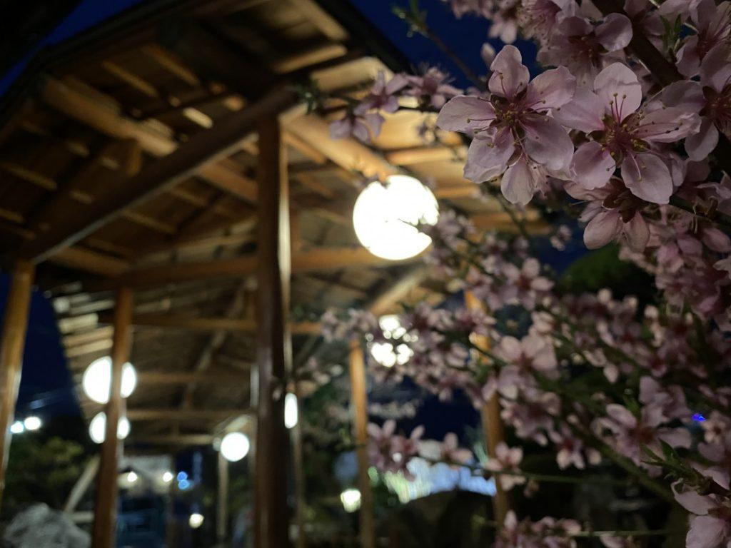 きこり 玄関前の桜